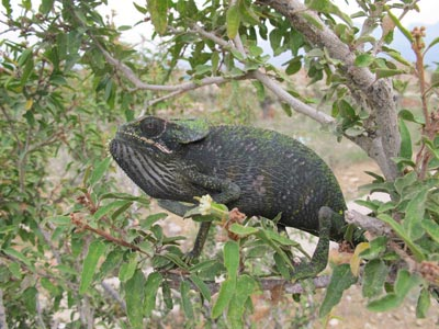 Chamaeleo monachus, another of the reptile species from Socotra. Author: Salvador Carranza.