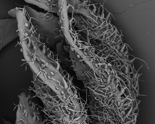 Artemisia annua leaf seen under the scanning electron miscroscope. The glandular trichomes (with a more circular shape) which produce artemisinin are clearly visible. Image: CRAG