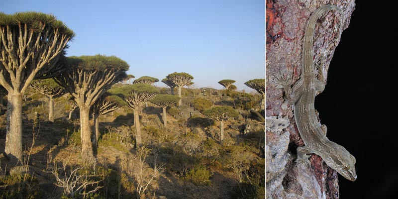 Some species live in very restricted habitats, such as the endemic gecko Hemidactylus dracaenacolus (right, author: Fabio Pupin), which only lives on the endemic Dragon's blood tree, Dracaena cinnabari (left, author of the picture: Salvador Carranza). Both are critically endangered species.