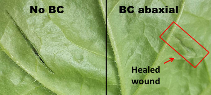 Two wounds in a leaf of Nicotiana Benthamiana. The wound on the right was treated with the bacterial cellulose based biopolymer. The pictures were taken 48 hours after.