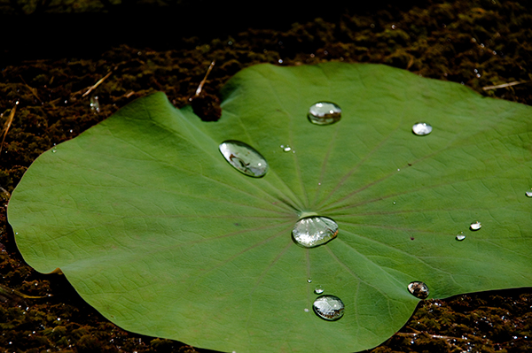 The lotus flower has hydrophobic properties because of its micro pillars, which have a complex nanostructure.