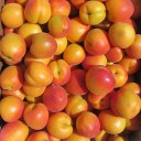 Genetic improvement of stone fruit trees for obtaining new varieties